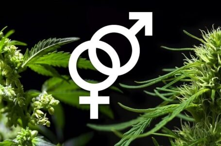 The Top 5 Advantages of Feminized Marijuana Seeds